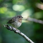 Forest bird