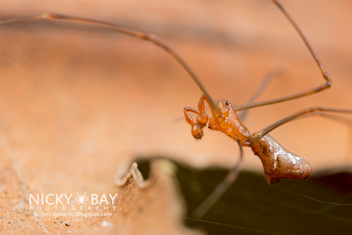 Comb-Footed Spider (Argyrodes sp.) - DSC_2280 | by nickybay