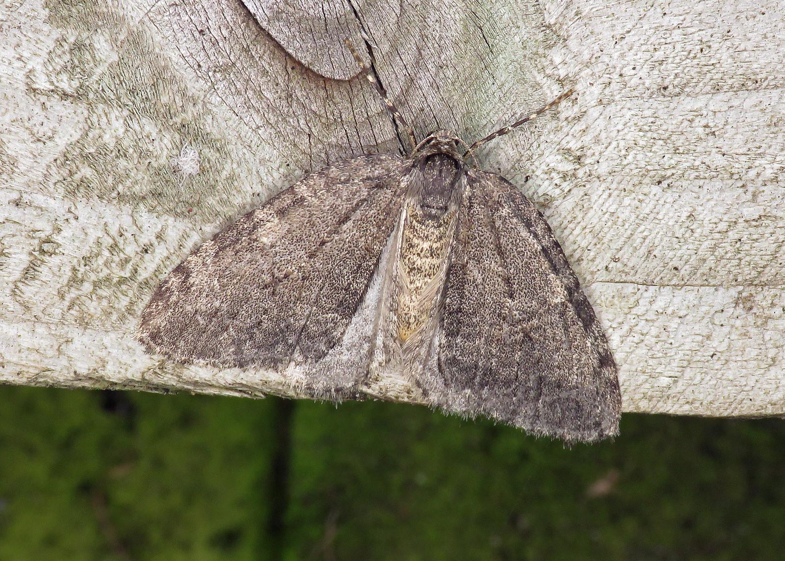 70.107x November Moth - Epirrita dilutata agg.