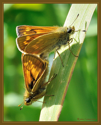 A Pair of Skippers | by KaneKlan