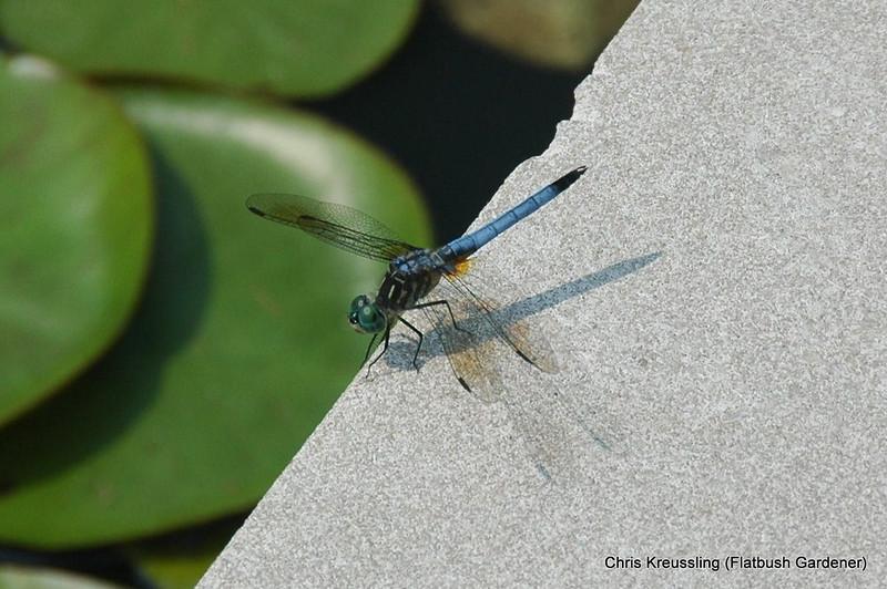 Pachydiplax longipennis, Blue Dasher (Male), Lily Pool Terrace, Brooklyn Botanic Garden, July 2009