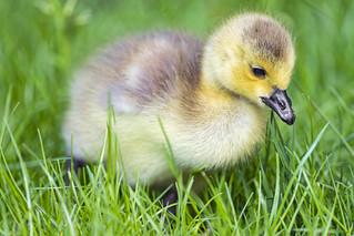Cute fluffy goose chick | by Tambako the Jaguar
