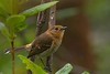 Kauai Elepaio (Chasiempis sandwichensis)