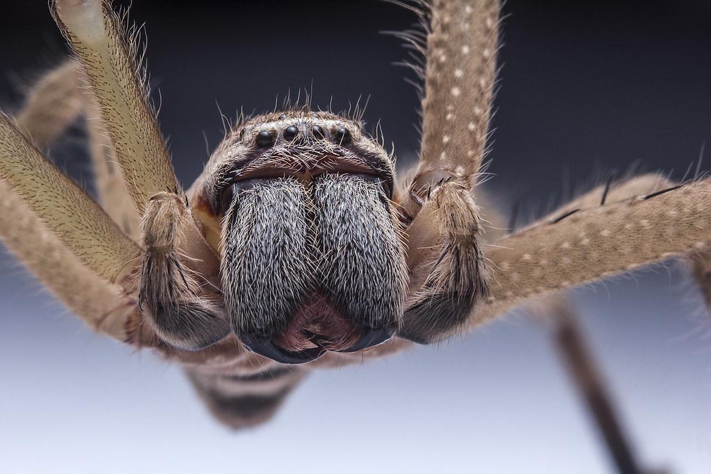 Huntsman Spider (Olios salacius), Cairns, QLD, Australia | Flickr