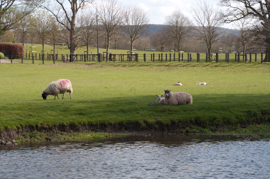 More sheep pastures