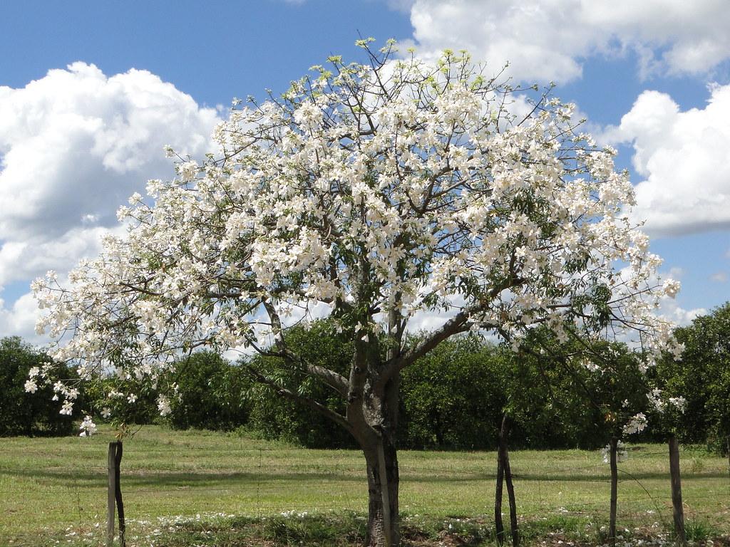 árvore Com Flores Brancas Uma Paisagem Linda A Beira Da Ro