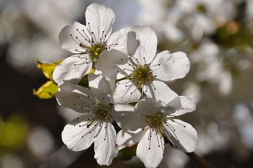 flowers fiori 1001nights omnipresence bianco ciliegio fioribianchi 1001nightsmagiccity
