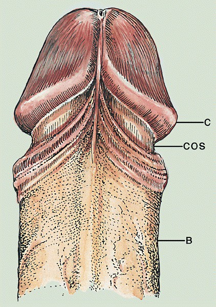 Anatomy of penis   Glans is a cone whose base, the corona (C