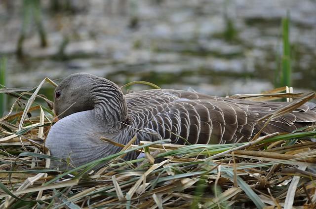 Greylag Goose 02