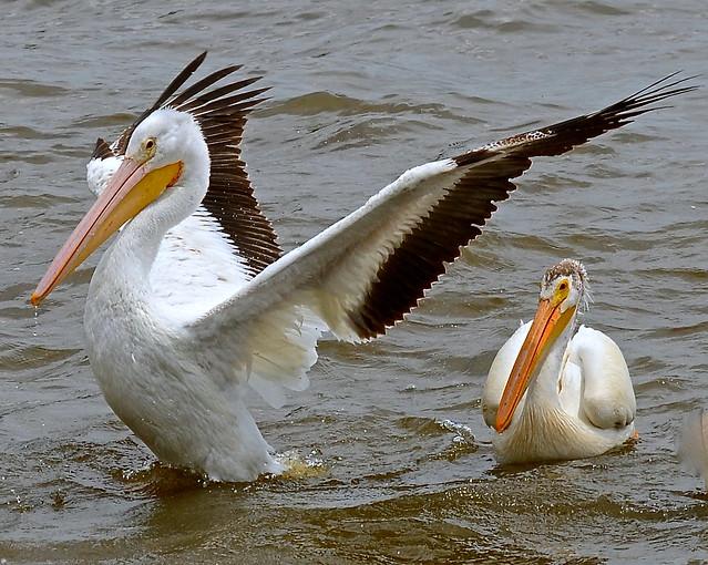 I'm the boss! White Pelicans Lock and Dam 14 Iowa-Ill