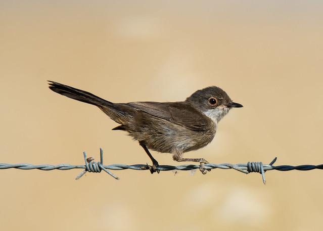 Toutinegra-de-cabeça-preta | Sylvia melanocephala | Sardinian Warbler