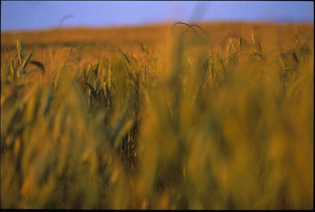 Profondeur de champ de blé