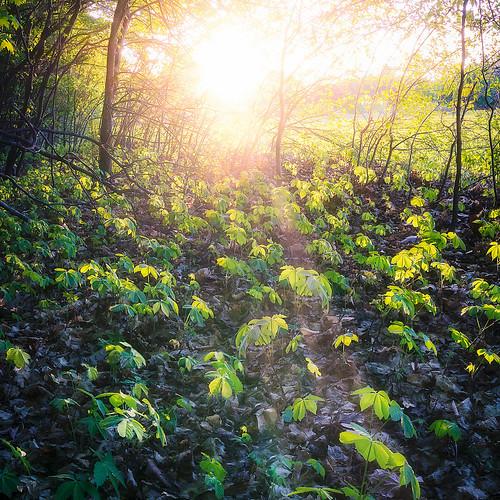 trees sunset plants sun leaves woods