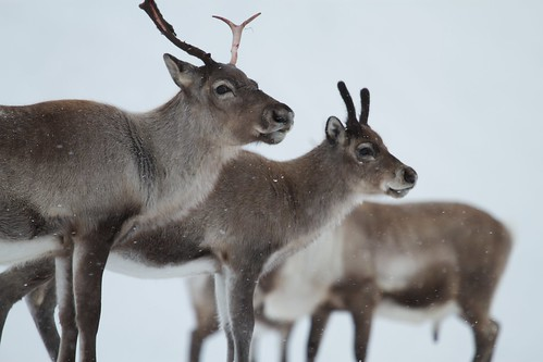 Reindeer in the snow, South Georgia | by brian.gratwicke