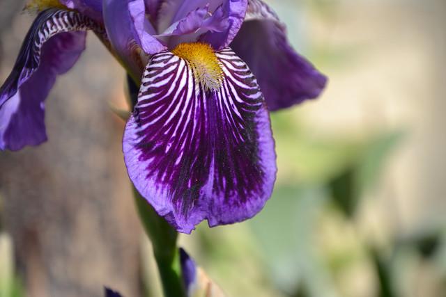 Iris 'Monsignor' - Vilmorin 1907 13950877929_3c691f24bf_z