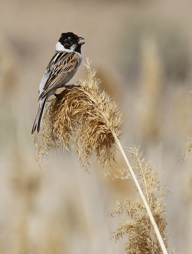 Pale Reed Bunting | by Wild Chroma