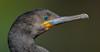 Cape Cormorant (Phalacrocorax capensis) by Brendon White