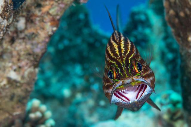 Sinai 2014 026 Gubal Tiger cardinalfish