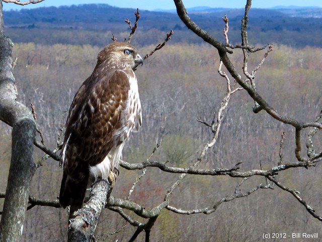 Rocky Hill hawk