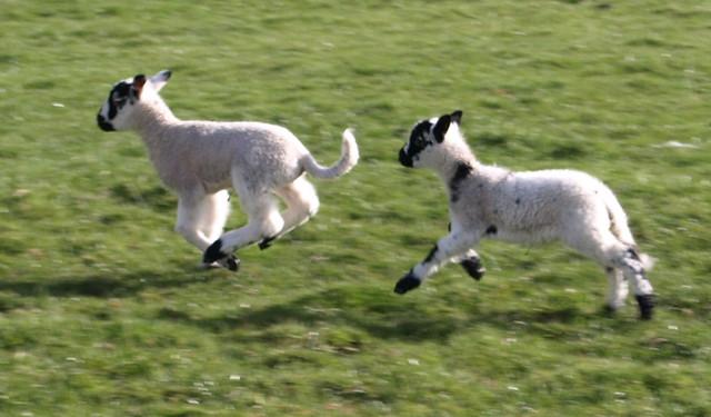 Gambling lambs