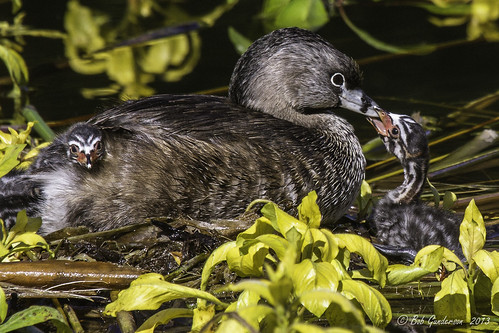 C2) Pied-billed Grebes - A good parent provides food and shelter | by Bob Gunderson
