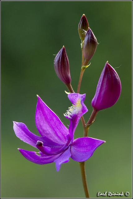 Calopogon Orchid (130623-2249)