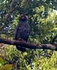 Slate-colored Hawk (B. schistaceus) - Early Morning Canoe Trip on Tahuayo River - Jun 19, 2013 by Wayne W G