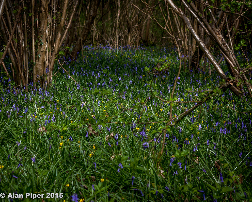 Bluebells in Lower Woods-1