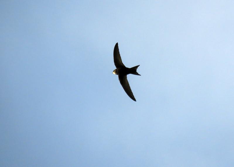 Swift - Apus apus