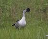 Knob-billed Duck (Sarkidiornis melanotos) by Lip Kee