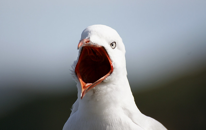 Loud mouth Red billed gull.