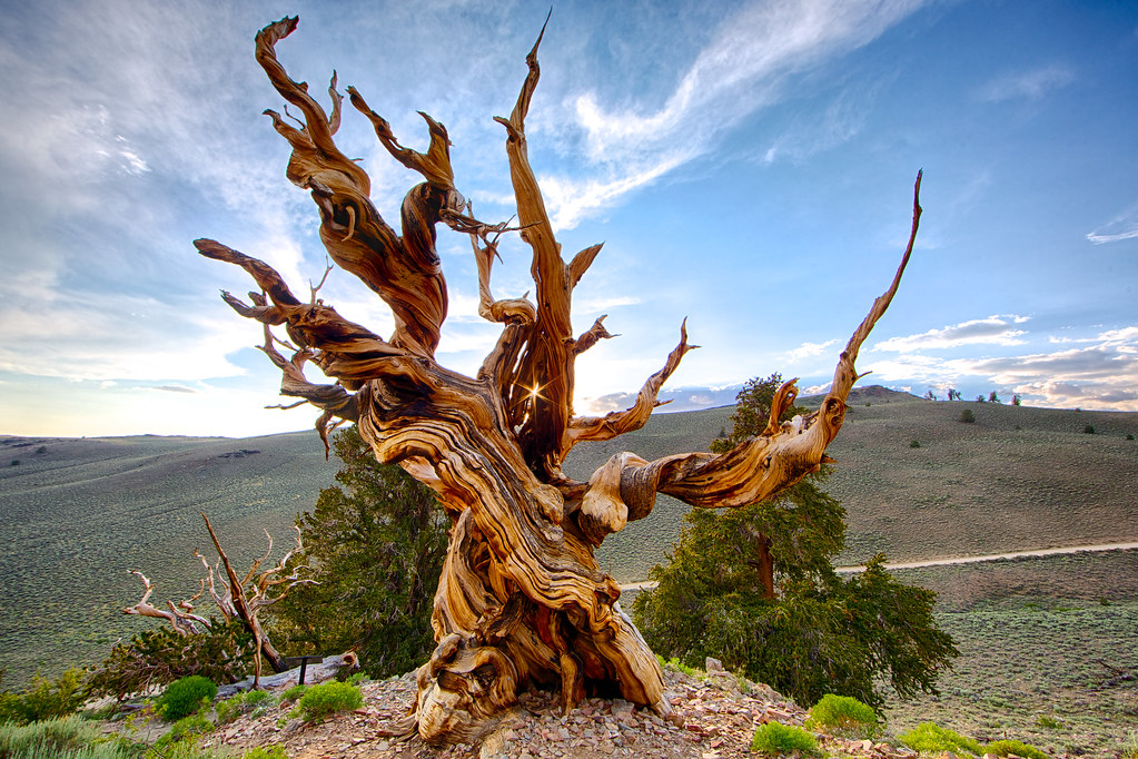 Bristlon pine tree