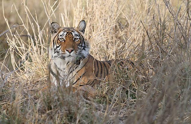 Tiger, Ranthambore, India