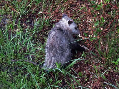 Virginia Opossum (Didelphis virginiana) | by magnificentfrigatebird