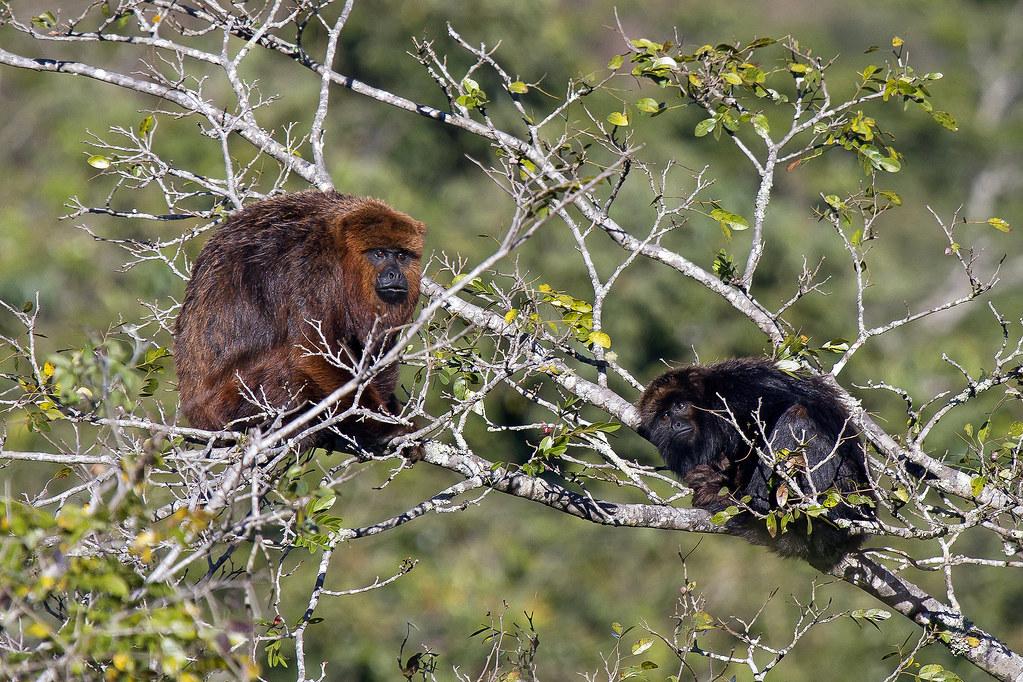 macaco bugio (Alouatta guariba) - familia