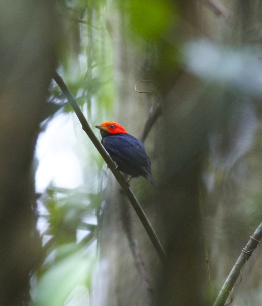 Red Headed Manakin(Pipra rubrocapilla)