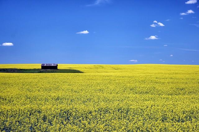 Canola Field near Elkwater Alberta