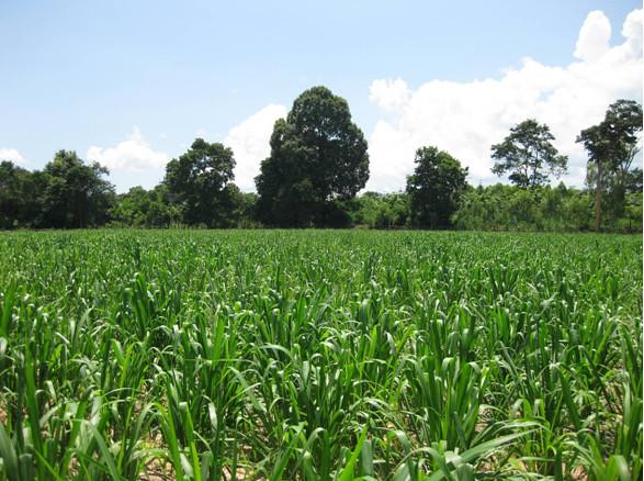 Brachiaria Grass Feed  Mombasa Guinea Grass  Tropical Seed… | Flickr