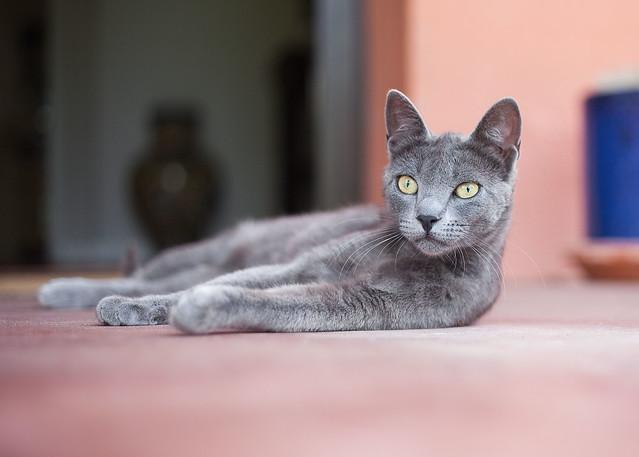 Sevillian Cat...