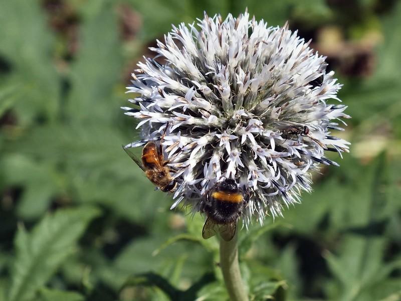 bijen in bloem