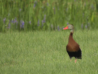 Black-bellied Whistling-Duck (Dendrocygna autumnalis) | by magnificentfrigatebird