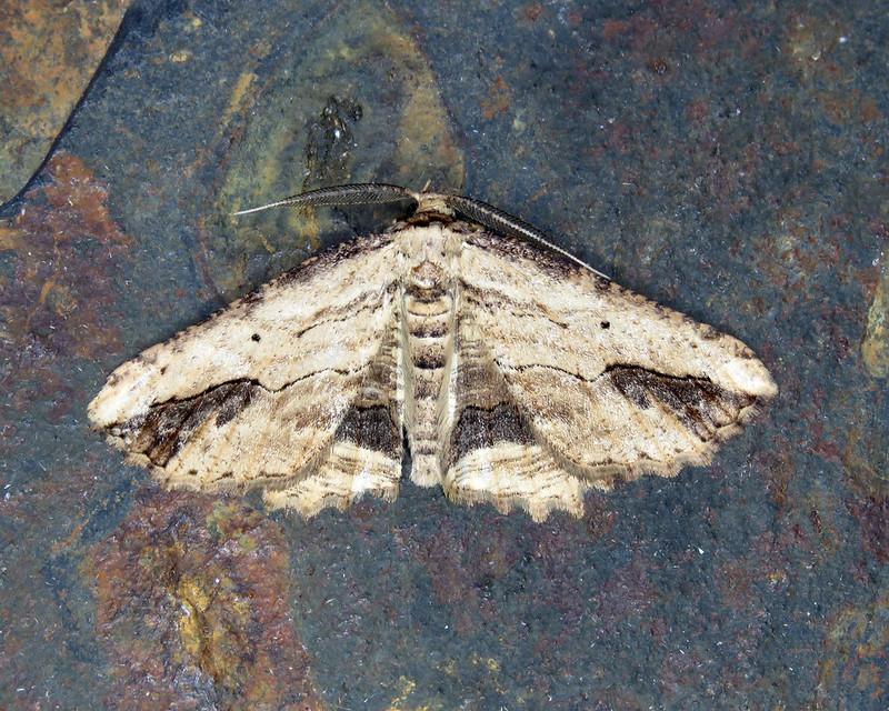 70.257 Waved Umber - Menophra abruptaria
