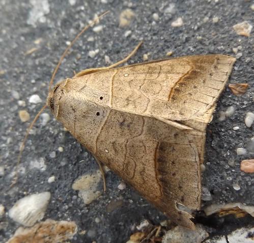 brown moth lafayette la louisiana withered mocis marcida