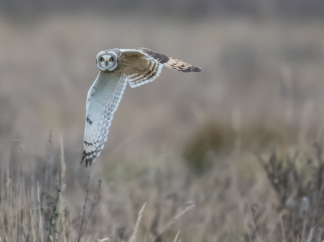 Short-Eared Owl Burwell Fen 03-12-2016-2590