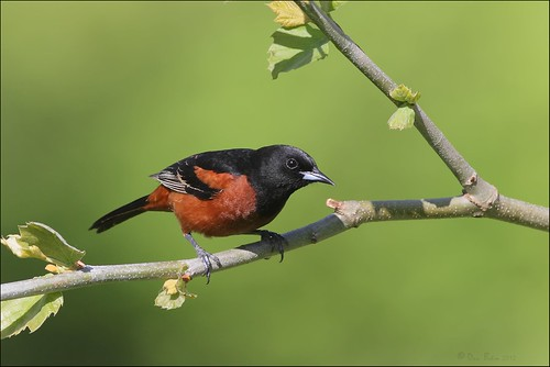 Orchard Oriole | by Daniel Behm Photography
