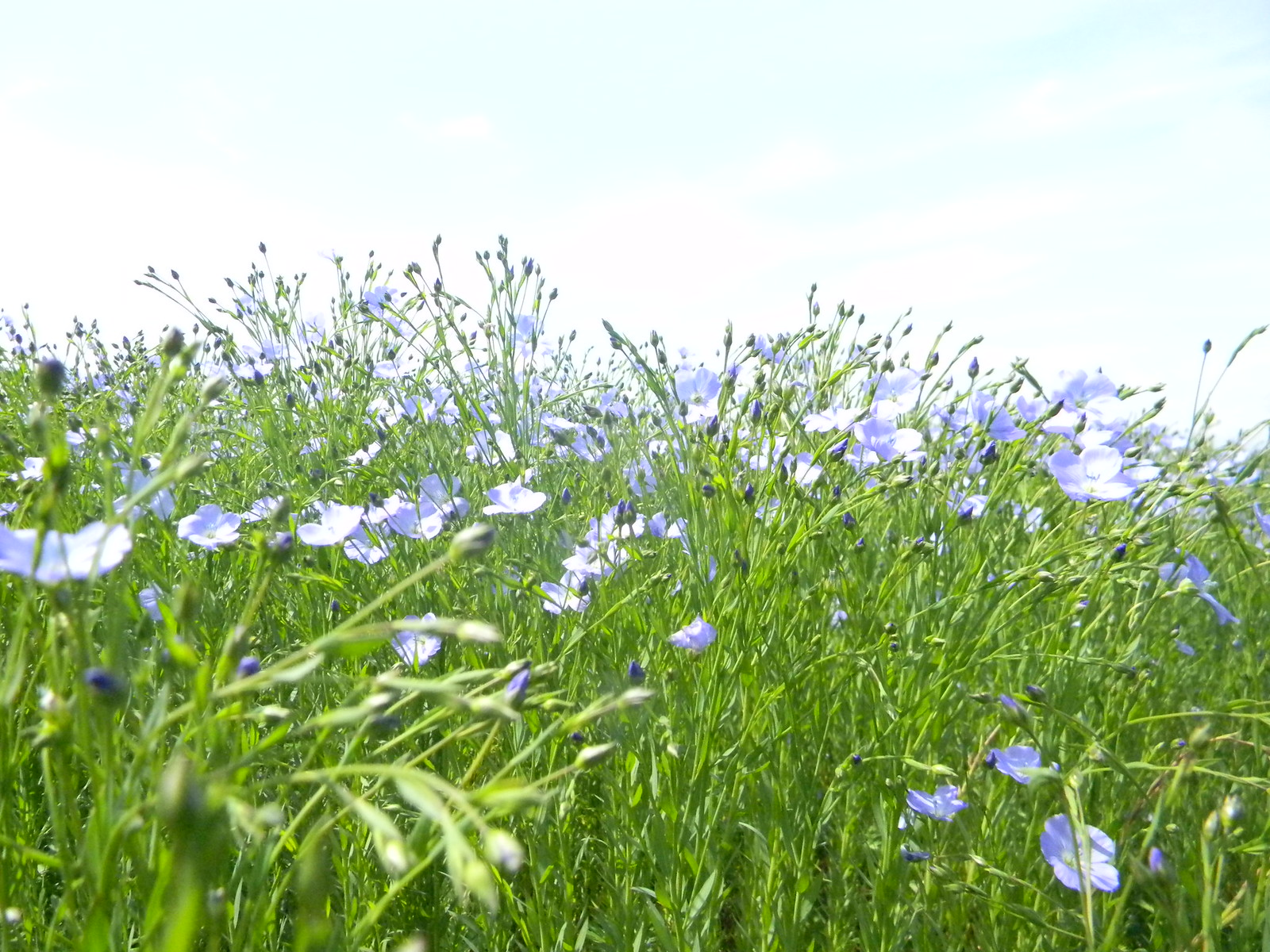Flax Berwick to Birling Gap