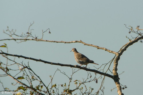 White-winged Dove   by Rob Fowler