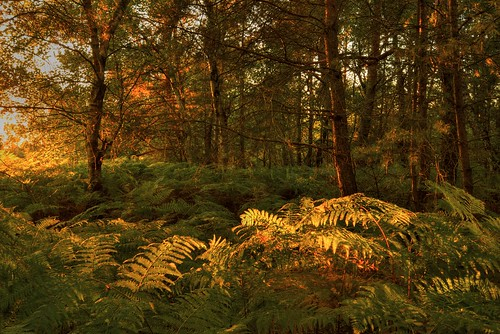 trees sunset orange sun colour green art nature beautiful leaves sunshine yellow forest germany landscape deutschland evening landscapes photo woods october outdoor heather unfound ferns sunlit moor birches niedersachsen lowersaxony bentheim nikond600