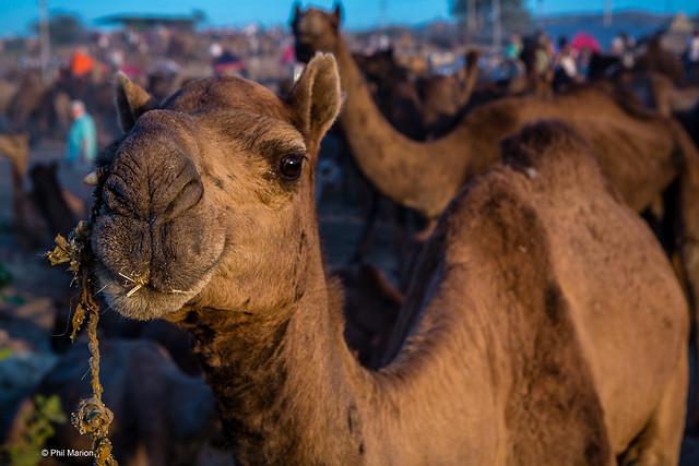 Looking for a buyer - Pushkar Camel Fair, India