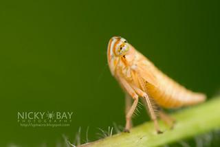 Leafhopper (Coelidiinae) - DSC_2906
